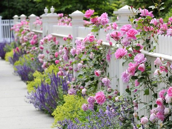 White picket fence, pink roses, purpley blue sage and chartreuse ladies mantle.