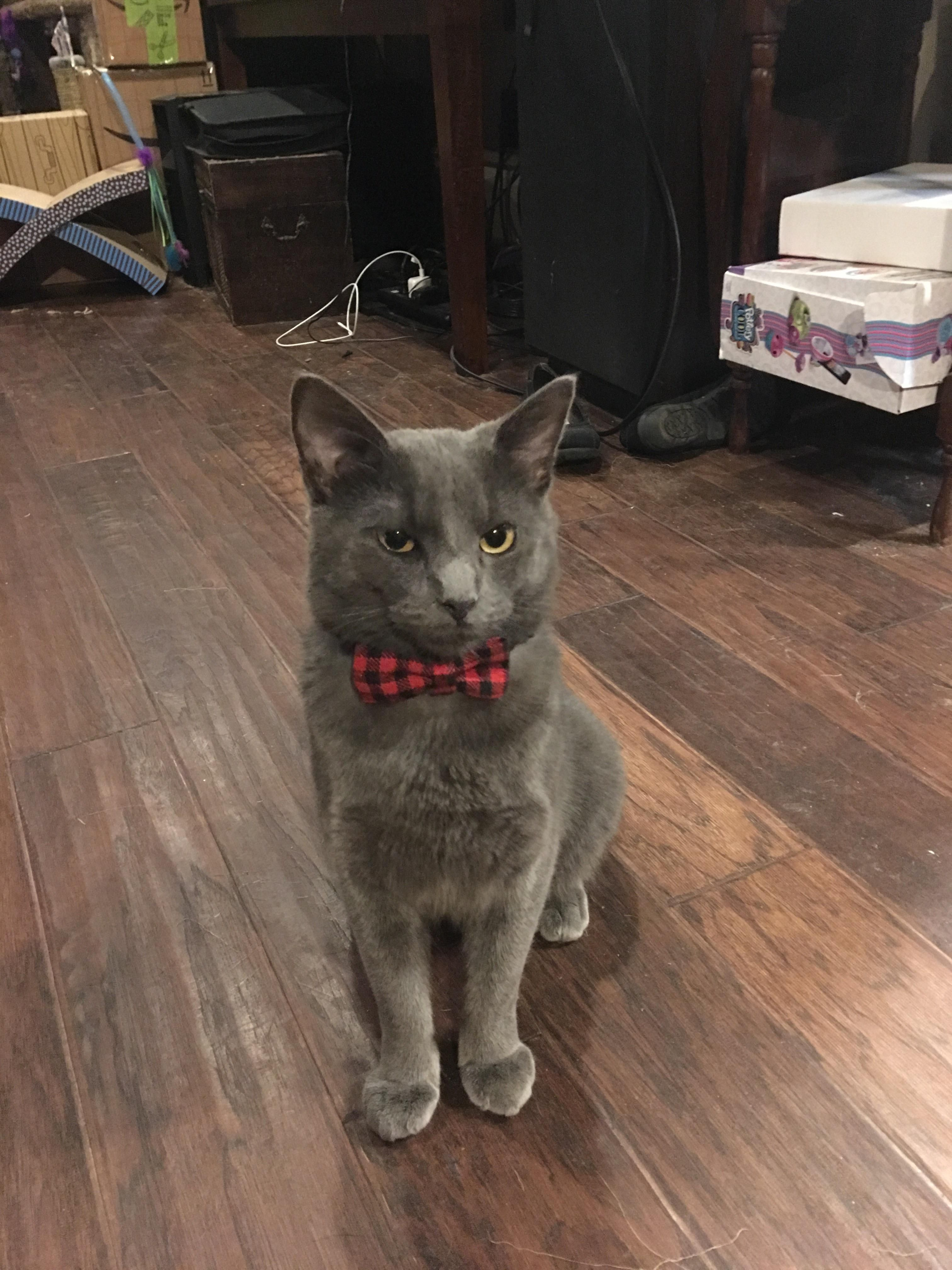 Delightful Discover The Russian Blue Cats Ideas Russian