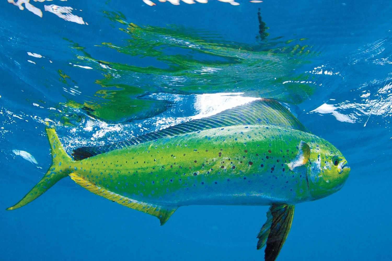 Freshwater fish looks like dolphin - Fish