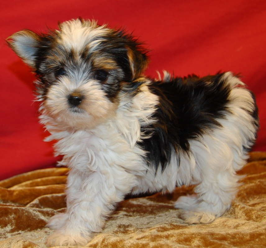 Mixed Breed For Sale Hoobly Classifieds Cute Teacup Puppies Morkie Puppies Morkie Puppies For Sale