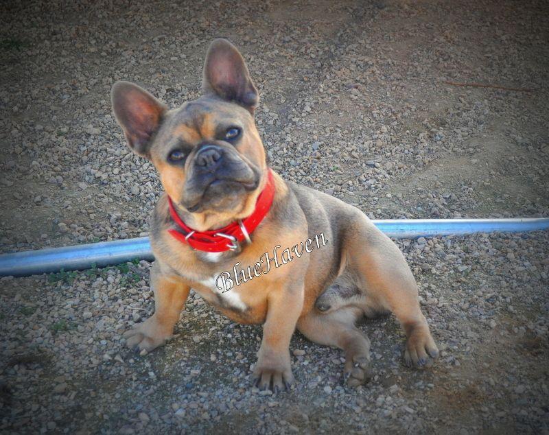 Cody Blue Sable French Bulldog French Bulldog Stud French