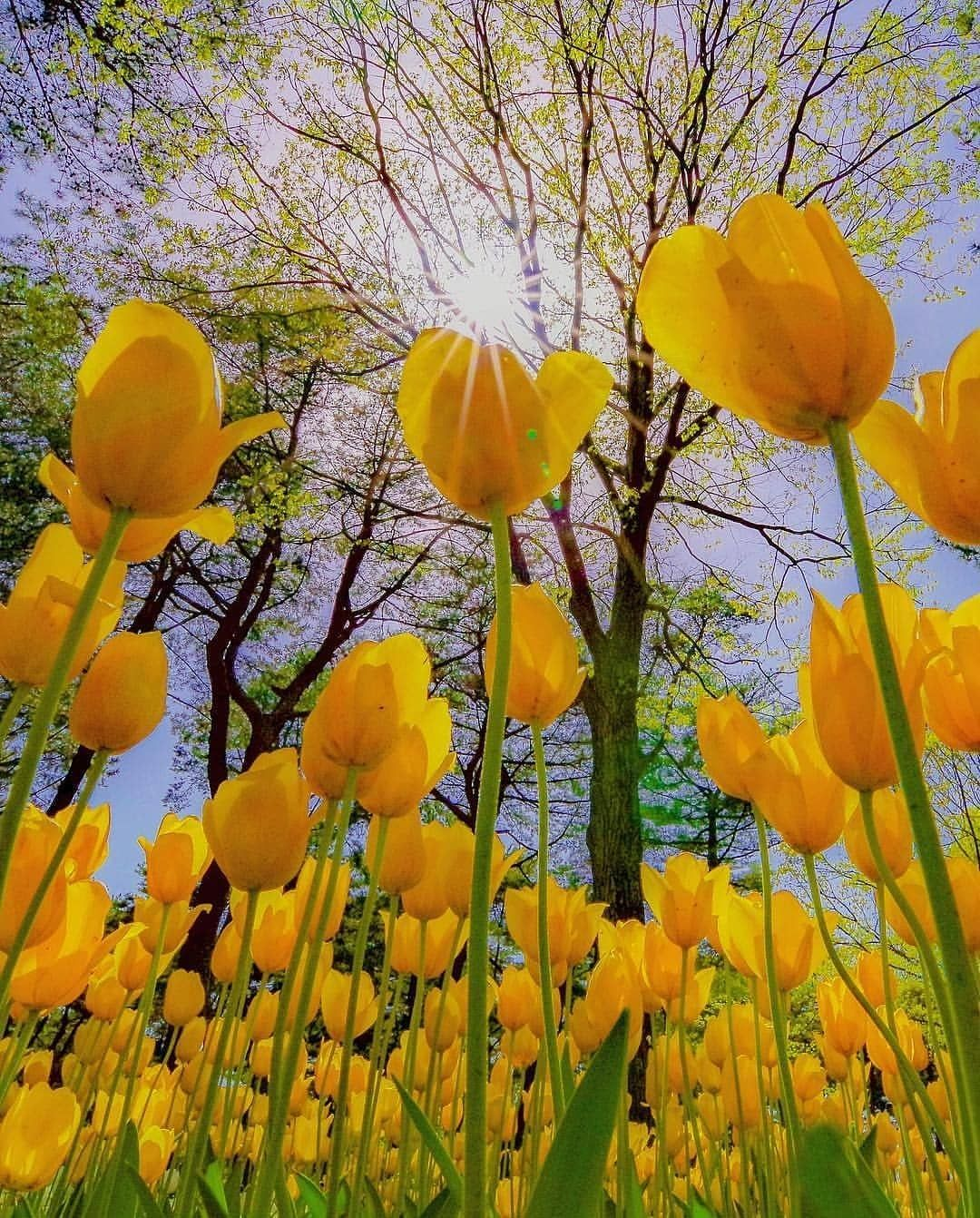 Hello It S Yenny Yennykey Highlighting My Favorite Flower Picture In Motions Flower Pictures Flowers Nature Tulips Garden