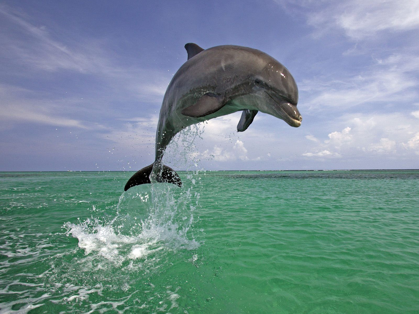 Dolphins Pics Dolphin Jumping Out Of Water 1600x1200 564222 Animaux Beaux Animaux Image De Dauphin