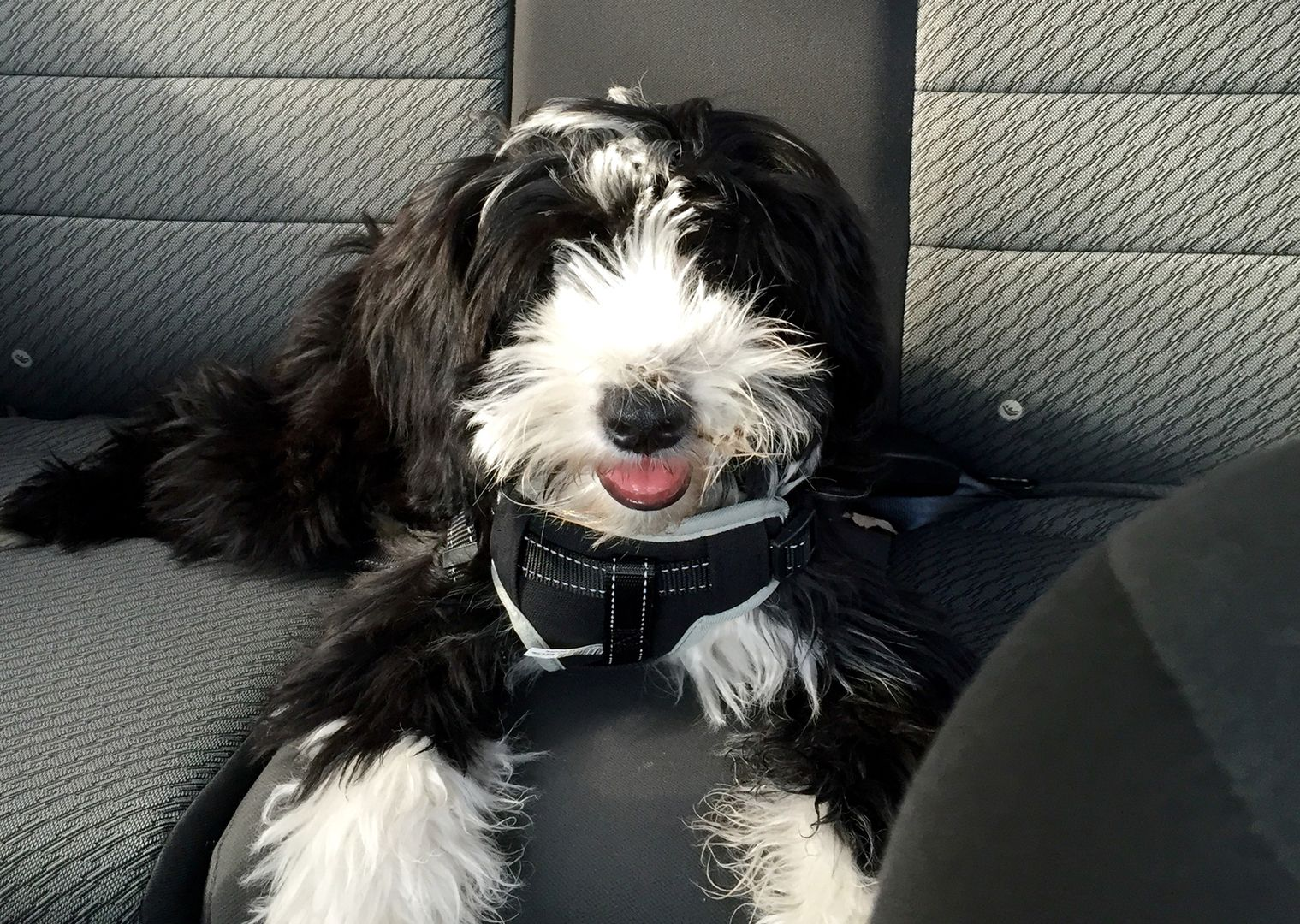 Tibetan Terrier Puppies For Sale Minneapolis Mn Pitbull Terrier