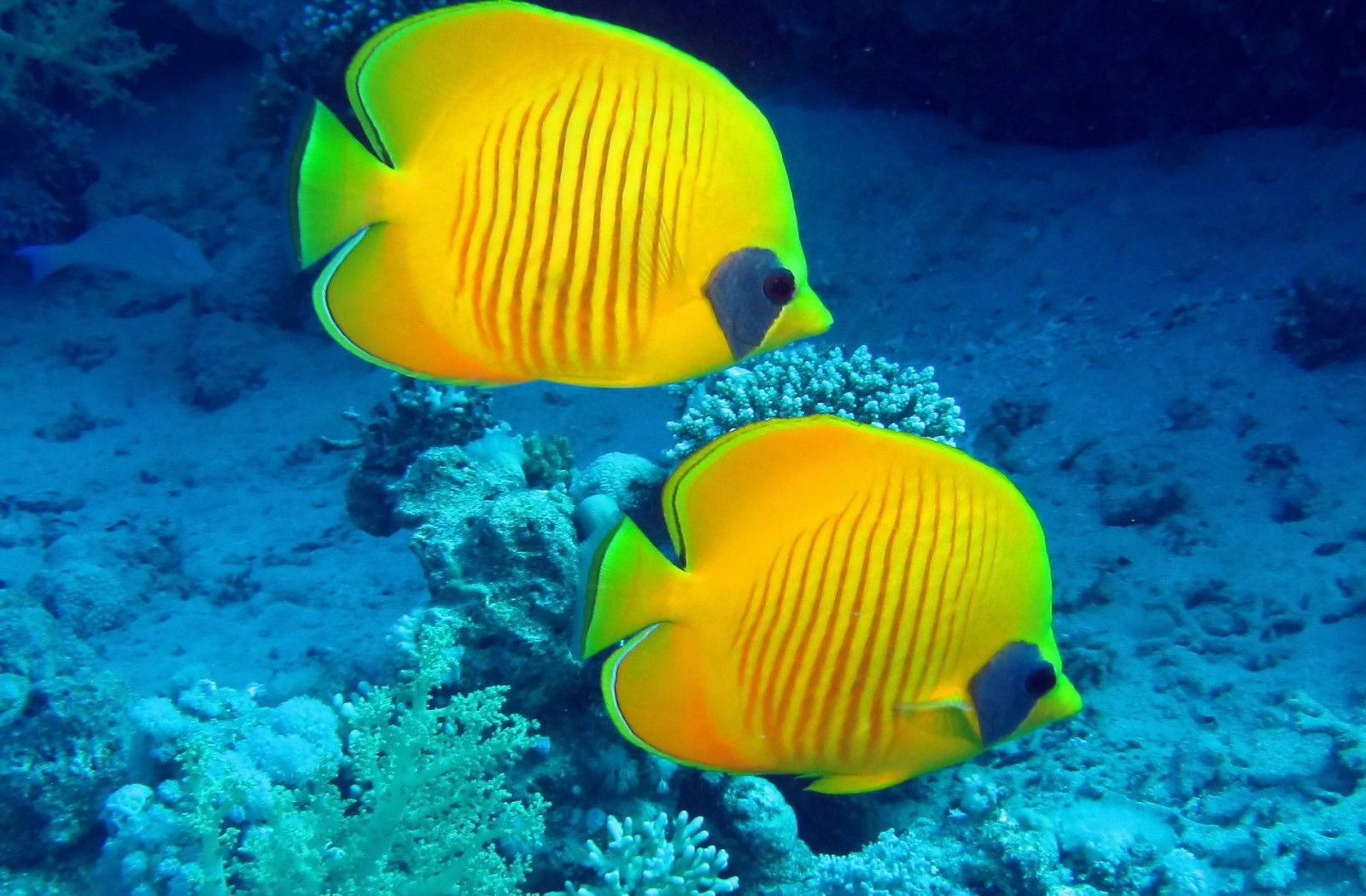 Animals Beautiful Fish Sea Fish Butterfly Fish