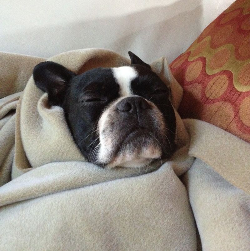 Cute Pictures Of Boston Terrier Dogs Wrapped In Warm Blankets