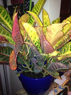 Croton Plant Care - Houseplant Care Tips