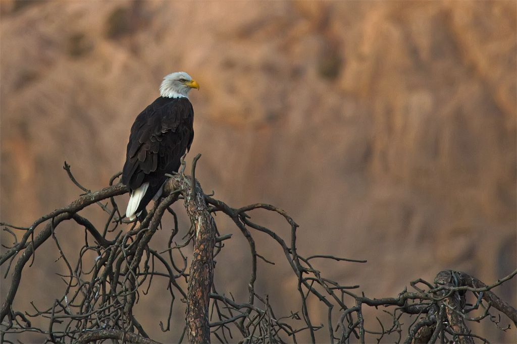 Bald Eagle by the River