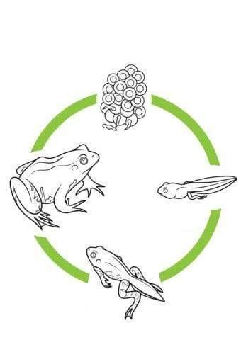 Life Cycles Image By Pattyclarkrenner63 Gmail On Frog Lesson