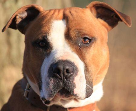 Tyson Amstaff Geb 2008 Vertraglich Mit Kindern Und Hunden Hunde Tiere Tierheim