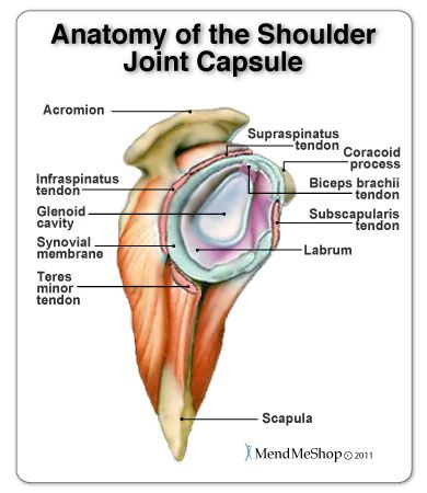 shoulder joint capsule tissue picture | Shoulder joint anatomy ...