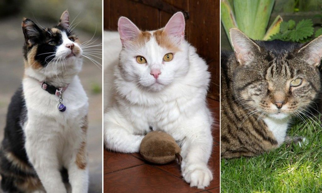 Britain S Most Remarkable Family Pets From This Year S National Cat Awards Cat World Cats The Incredibles Pets
