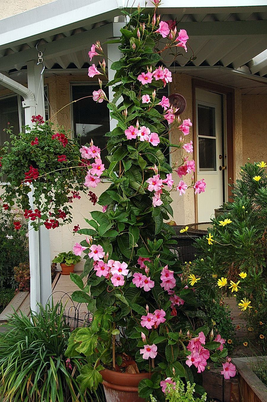 I already have this growing in my front yard...loves full ...