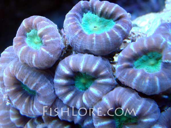 Candy Cane Coral Caulastrea Furcata Coral Celebrity Design Candy Cane