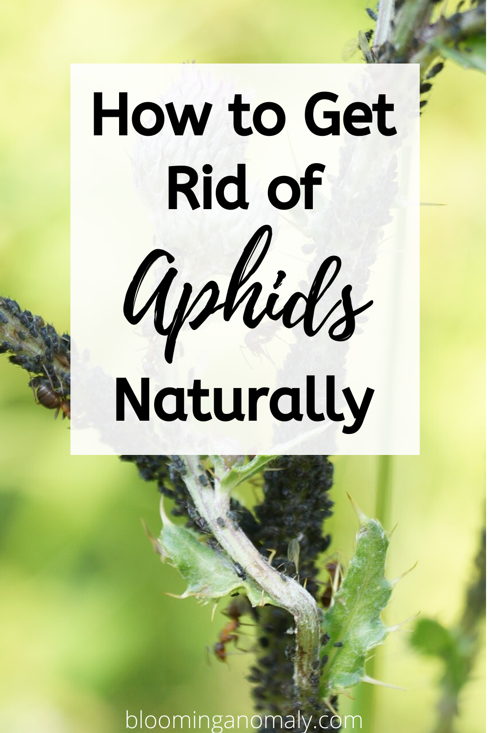 How To Get Rid Of Aphids Naturally In 2020 Get Rid Of Aphids Aphids On Plants Aphids