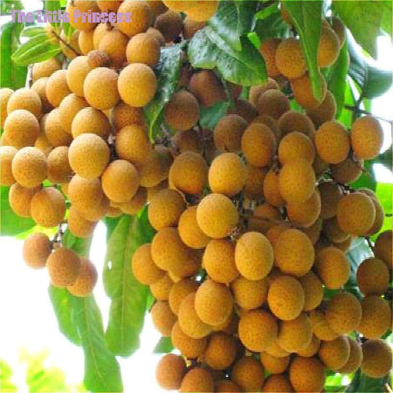 hot sale fruit bonsai 5pcs rare fruit plant seeds dwarf fruit trees longan aka dragon eye