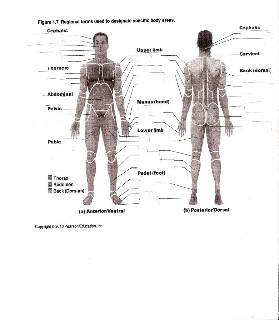 Human Anatomy Labeling Worksheets Anatomy Worksheets For College