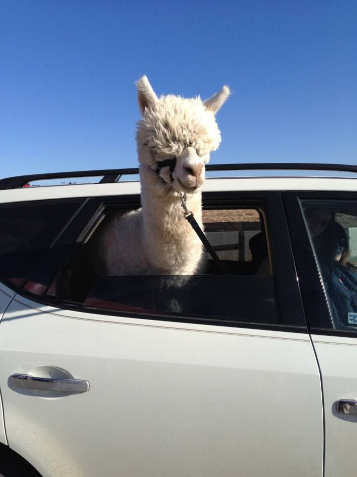 First Car Ride Kawaii Alpaca Funny Animals