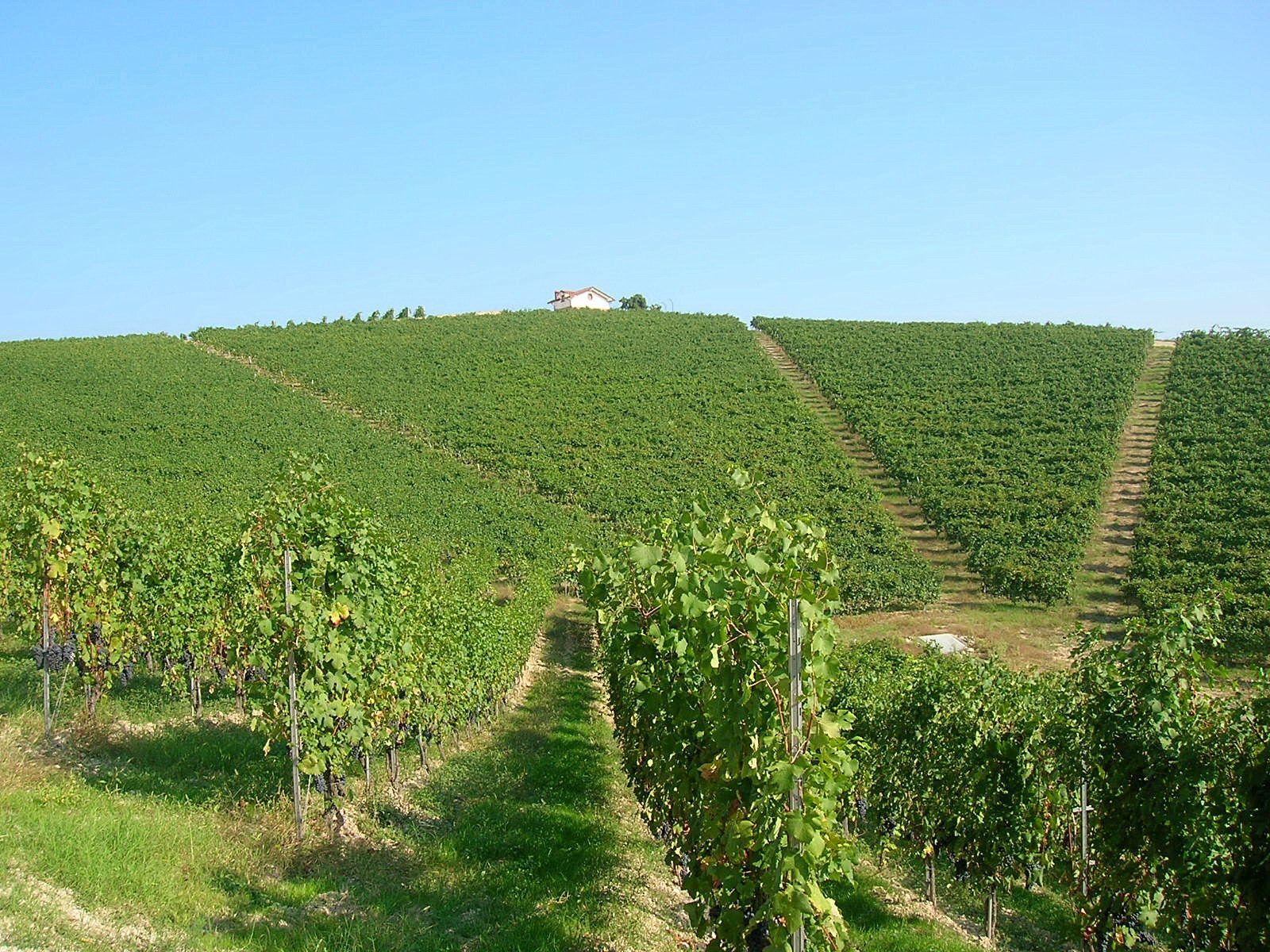 Nervi´s vigneto Molsino - natural South facing amphitheatre - 10 ha of Nebbiolo vines