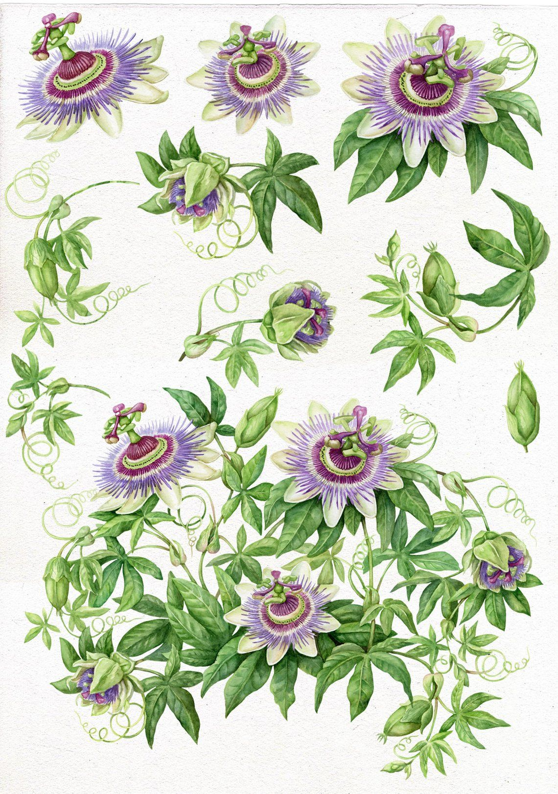 Wedding Clipart Watercolor Passion Flower Botanical Art Scrapbooking Clip Art Digital Flowers Hand Painted Passion Flower Botanical Art Passion Flower Flower Art