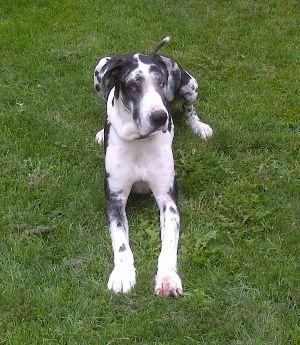 Rocky Mountain Great Dane Rescue Hope Great Dane Rescue Pets