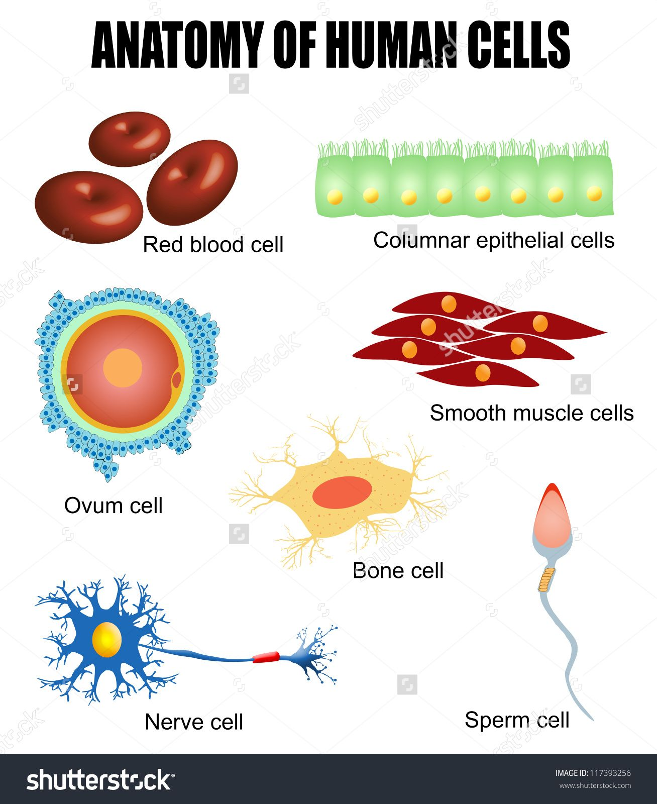 anatomy of human cells useful for education in schools and clinics vector illustration [ 1308 x 1600 Pixel ]