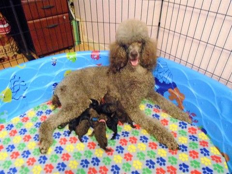 Litter Of 9 Poodle Standard Puppies For Sale In Spring Hill Fl