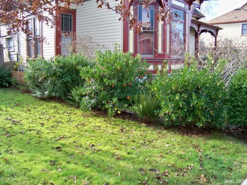 These Arbutus unedo have been planted to form a hedge which can be infomal or formal with pruning. - linha intermedia