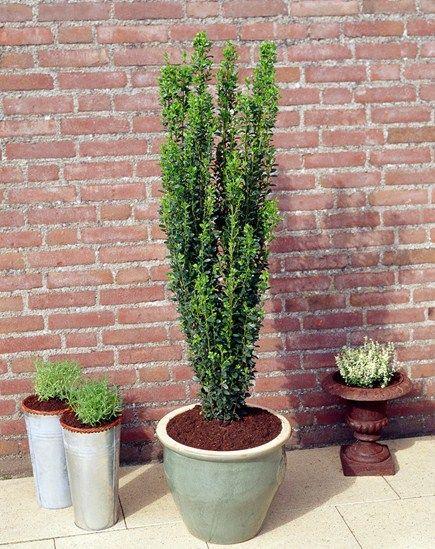 Ilex X Altaclerensis Belgica Aurea Sky Pencil Holly Succulent Landscaping Landscaping Tips