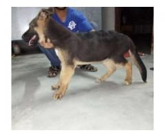 German Shepherd Male Dog 4 Month Age For Sale In Lahore German Shepherd German Shepherd For Sale Dogs