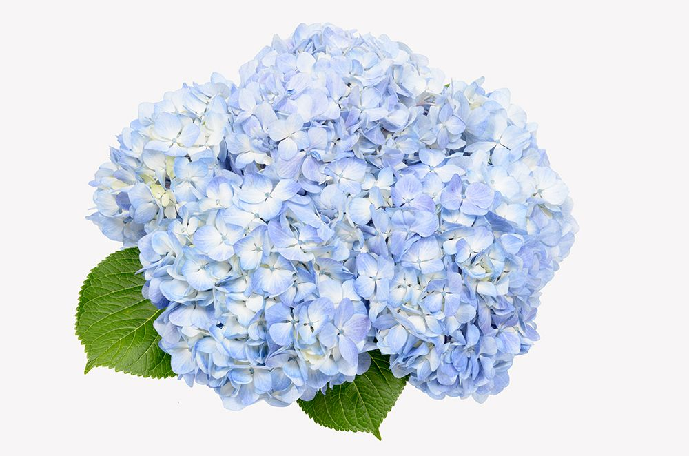 Soft Blue Hydrangea Make Us Happy Grown In Ecuador By Royal Flowers Blue Hydrangea Flowers Hydrangea