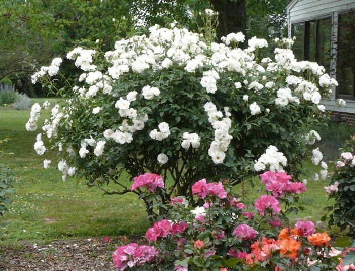 iceberg bush schneewittchen white rose kordes ba ta. Black Bedroom Furniture Sets. Home Design Ideas
