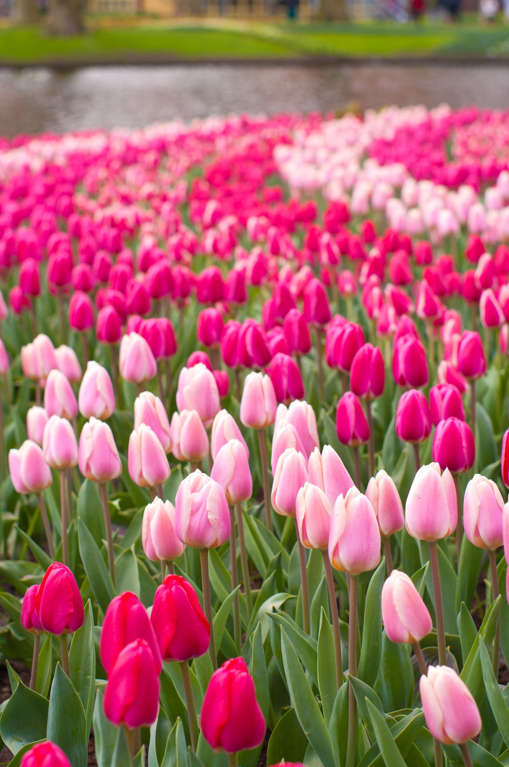 Keukenhof World Festival Directory Flower Show Beautiful Flowers Wallpapers Tulips Flowers