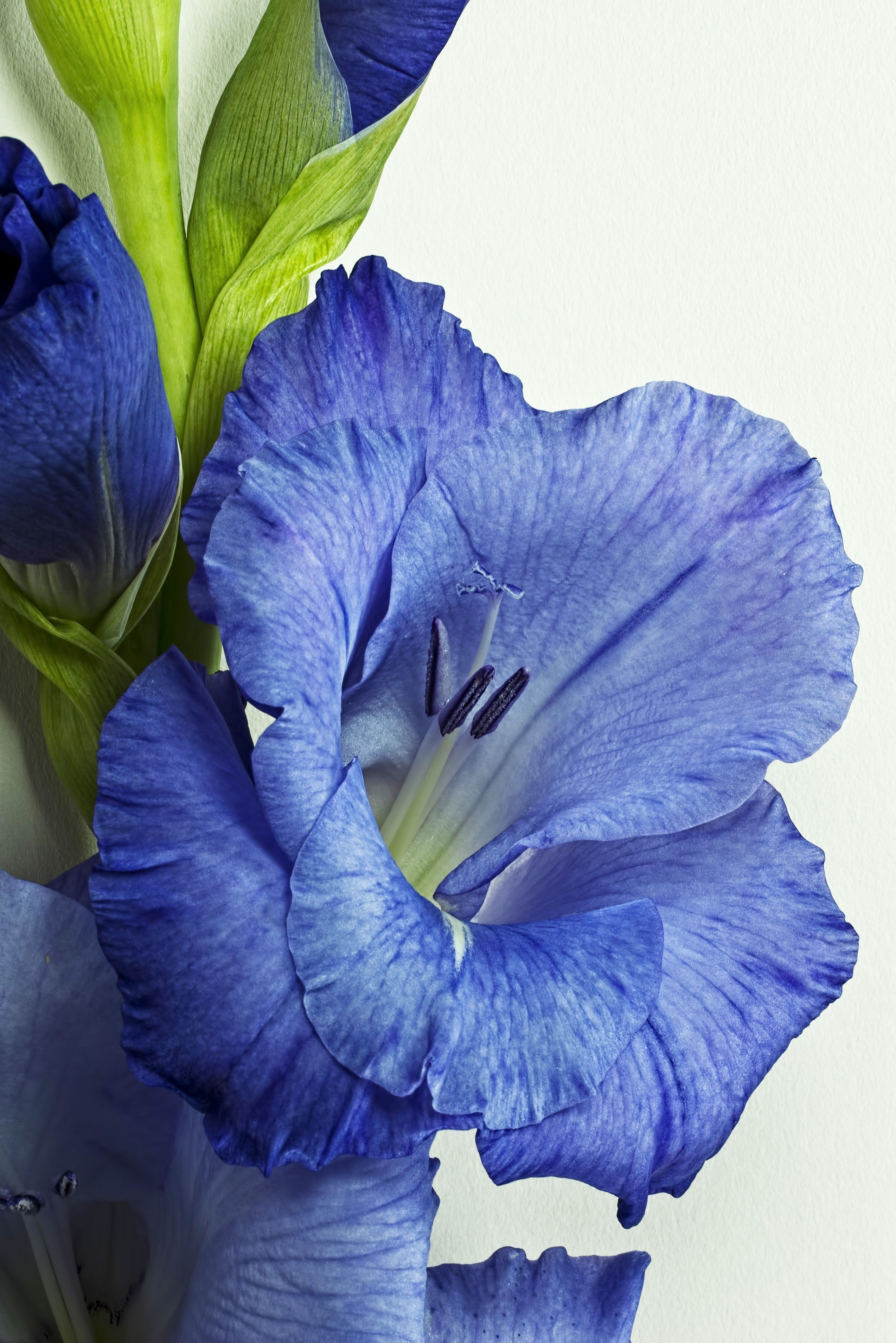Nature Plant Flower Purple Petal Spring Blue Flora Flowers Close Up Human Body Iris Eye Organ Purple Flower Gladiolus Gladiolus Gladiolus Flower Flora Flowers
