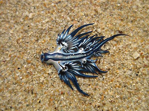 Dragon Bleu Animal dragon bleu - glaucus atlanticus | glaucus atlanticus tattoos