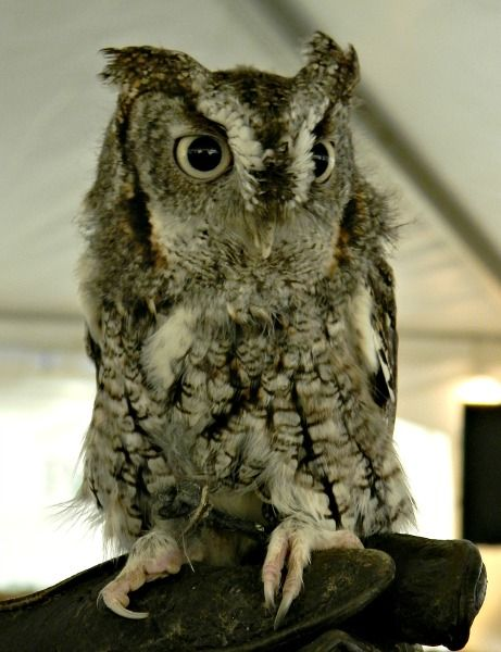 Eastern Screech Owl At The Teatown EagleFest In Croton On Hudson, NY