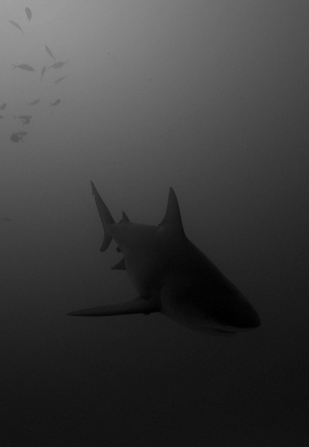 Epingle Par Michal Majchrzak Sur Animals Photos De Requin Requin Animaux