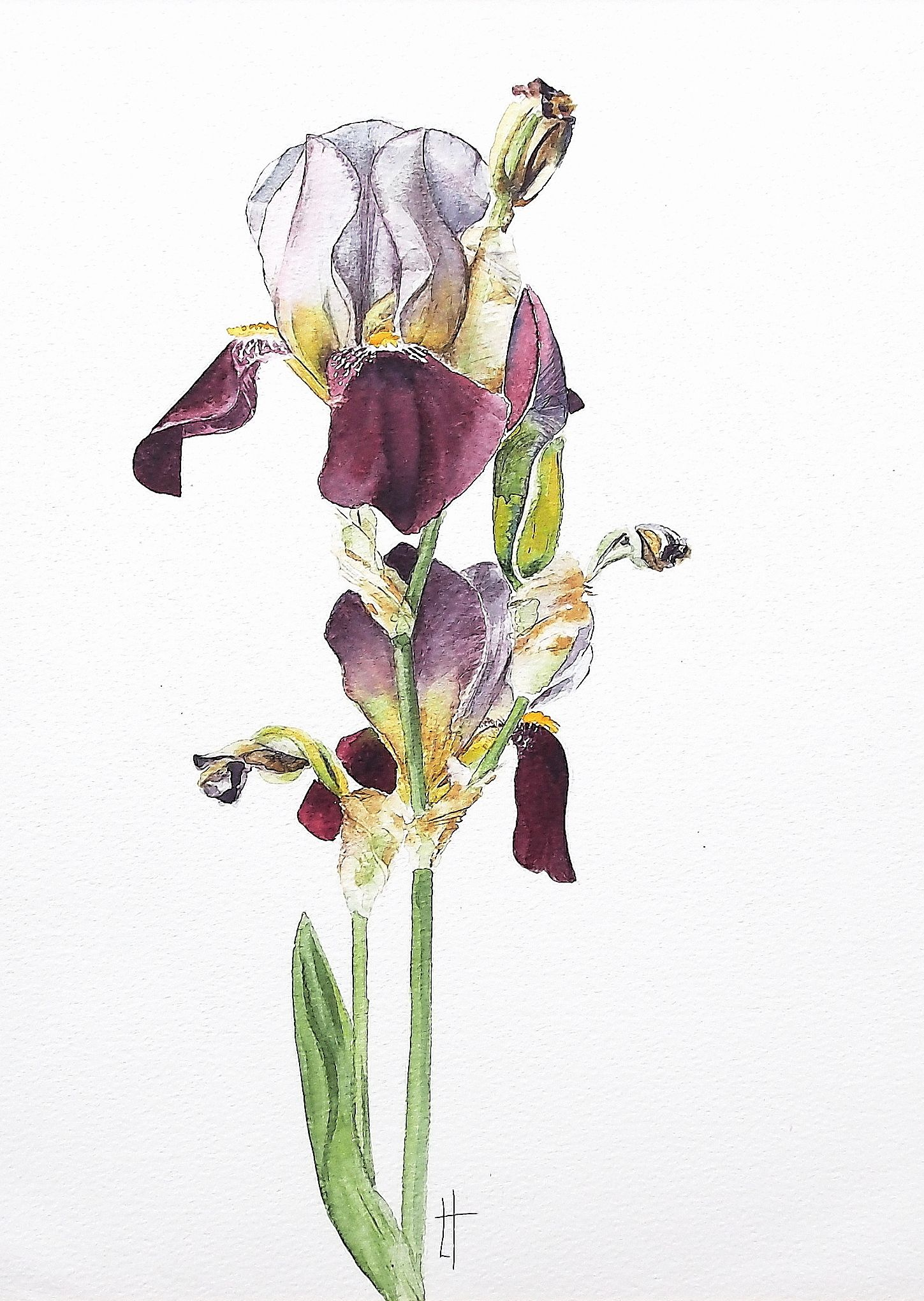 Watercolour Iris by Linda Turner