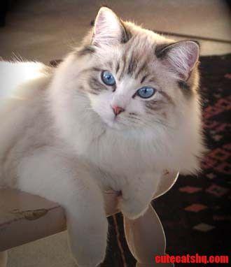 Ragdoll Cats Sevimli Kedi Yavrulari Guzel Kediler Sevimli Kediler