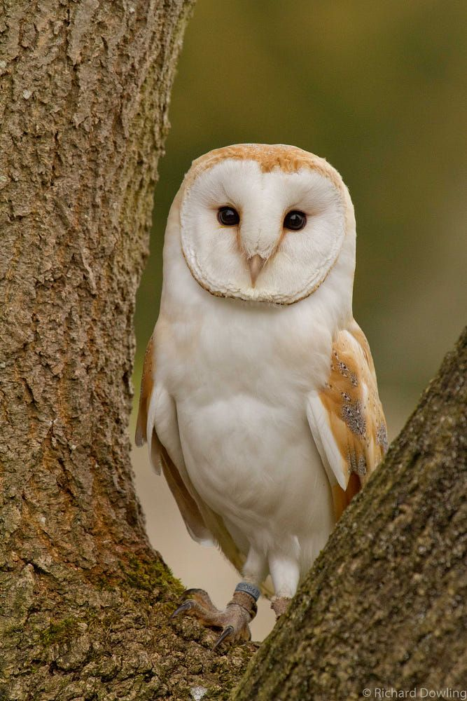 Barn Owl By Richard Dowling (500px) Barn owl, Owl, Owl