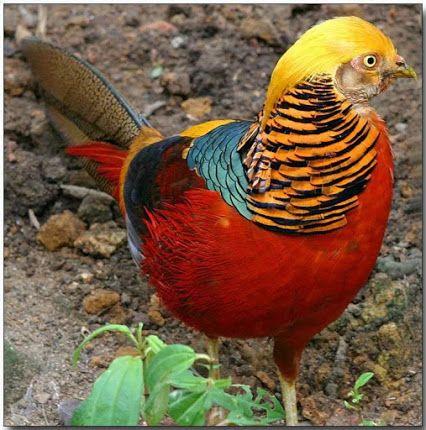 Google+  #birds Faisão Dourado.