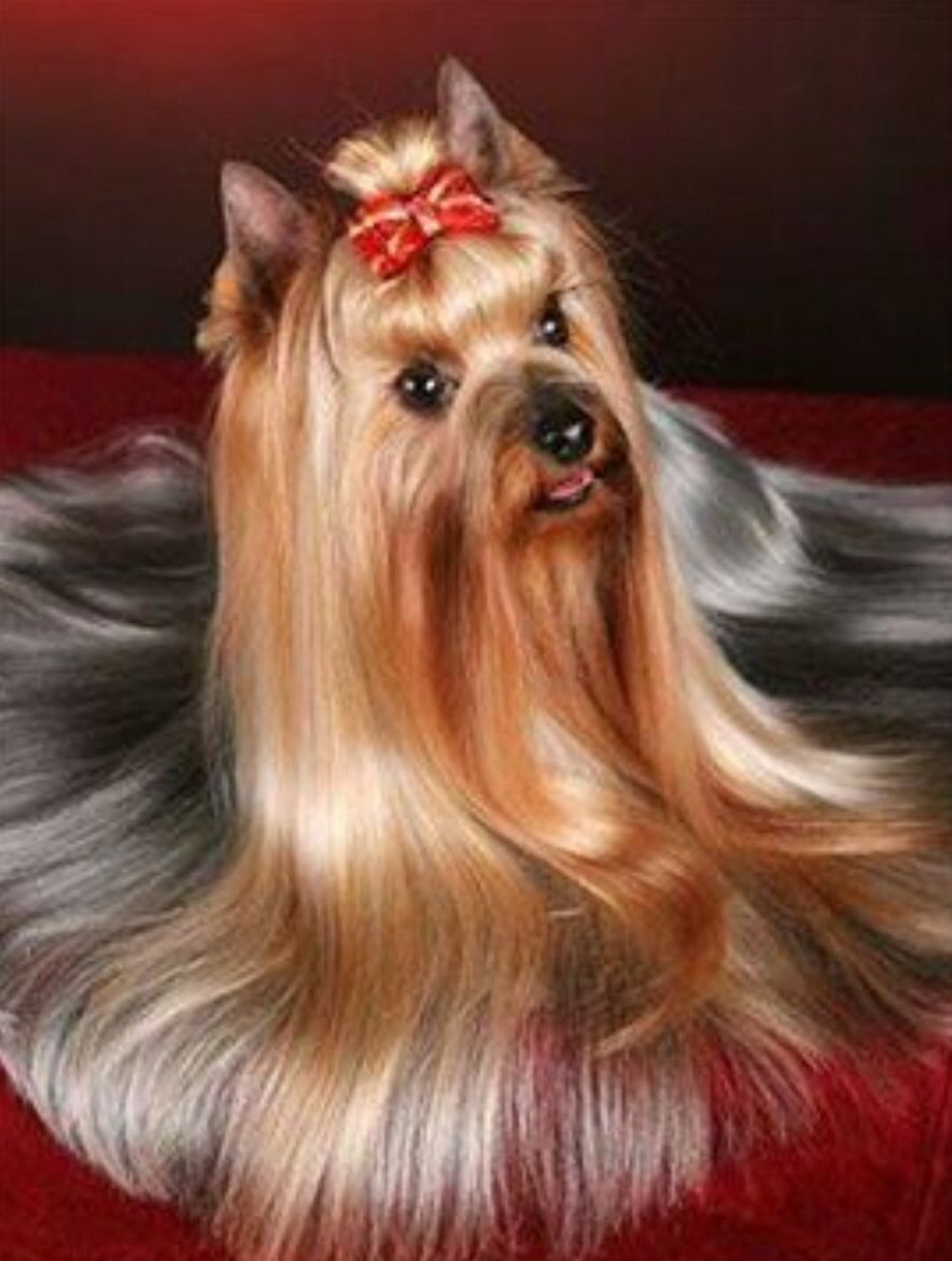 Lady Yorkie Beauty In Creatures Yorkie Yorkie Haircuts
