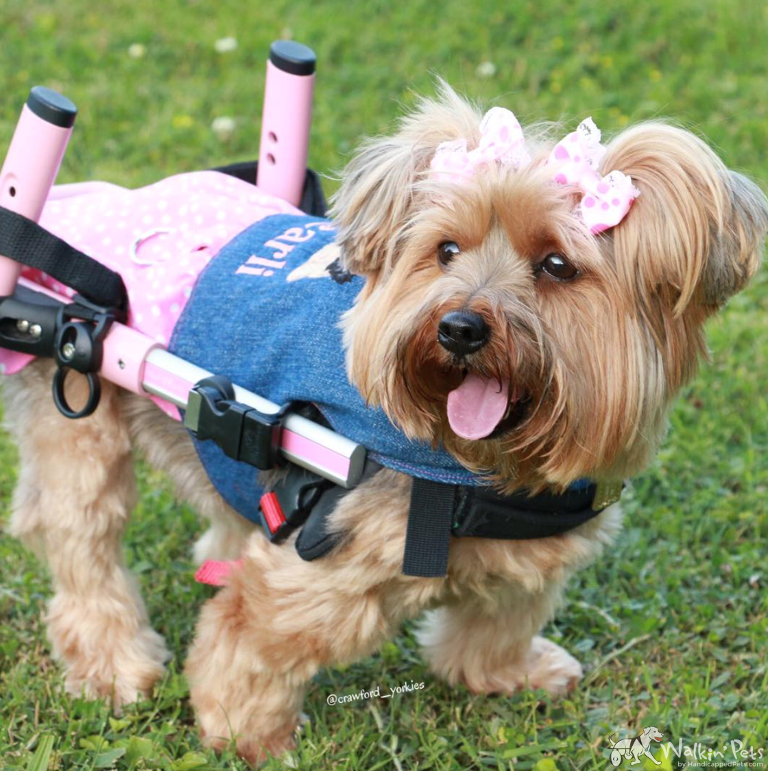 Dog Wheelchairs For Dachshunds Other Small Dogs Dog Wheelchair Wheelchair Disabled Dog