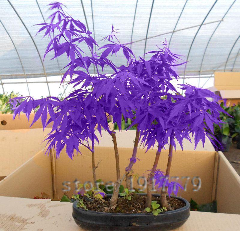 30 pcs/pourpre Japonais érable graines, rare bonsaï d\'intérieur ...