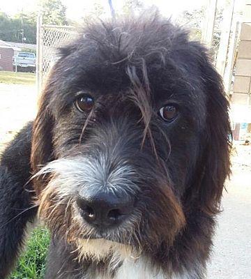 Winder Ga Old English Sheepdog Terrier Unknown Type Medium