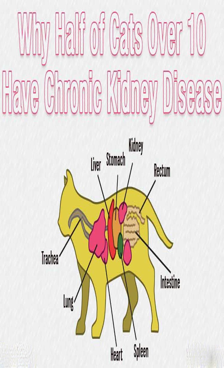 5 Signs Of Kidney Disease In Cats Chronic kidney disease