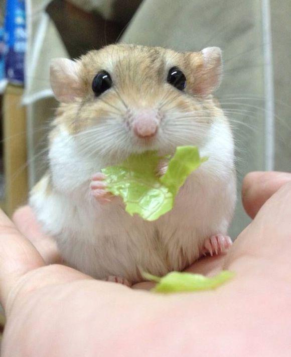 Pin Von Laurie Auf Hamstershamstershamst Susse Hamster Hamster Wilde Tiere