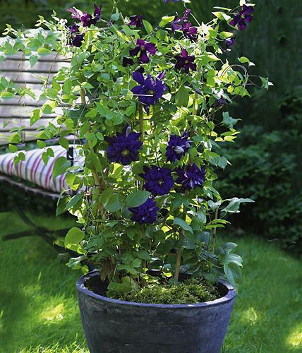 clematis aufsteiger der saison living at home sch n so in einem k bel garten pinterest. Black Bedroom Furniture Sets. Home Design Ideas