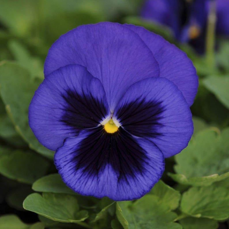 Blue Garden Pansy 30 Seeds Viola Wittrockiana Blue With Etsy In 2020 Pansies Flowers Pansies Beautiful Flowers