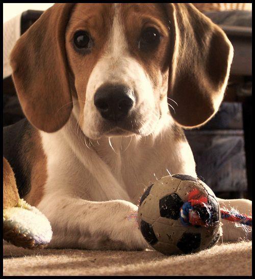 Beagle Beagle Hound Beagle Dog Cute Dogs